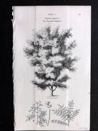John Loudon 1838 Antique Botanical Tree Print. Japanese Sophora